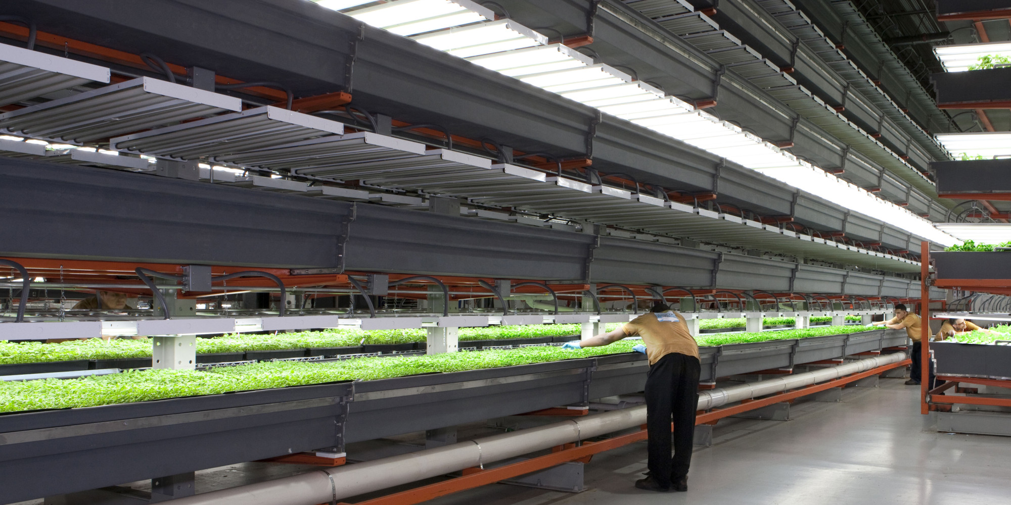 In this photo provided by FarmedHere, a worker checks crops at the indoor vertical farm in Bedford Park, Ill. on Feb. 20, 2013. The farm, in an old warehouse, has crops that include basil, arugula and microgreens, sold at grocery stores in Chicago and its suburbs. Officials at FarmedHere plan to expand growing space to a massive 150,000 square feet by the end of next year. It is currently has about 20 percent of that growing space now. (AP Photo/Heather Aitken)